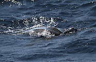 Leatherback Turtle - Dermochelys coriacea