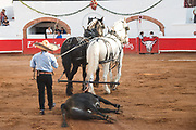 A dead bull is dragged away by a team of horses following a successful kill during a bullfight at the Plaza de Toros in San Miguel de Allende, Mexico.