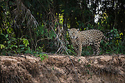 Jaguar (Panthera onca) female<br /> Northern Pantanal<br /> Mato Grosso<br /> Brazil<br /> (Patricia)