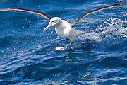 White-capped Albatross, New Zealand