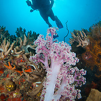 Diver and soft coral, Tenggol Island, Tanjong Jara Resort, Terengganu, Malaysia.