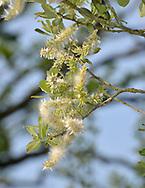 Grey Willow - Salix cinerea - in fruit