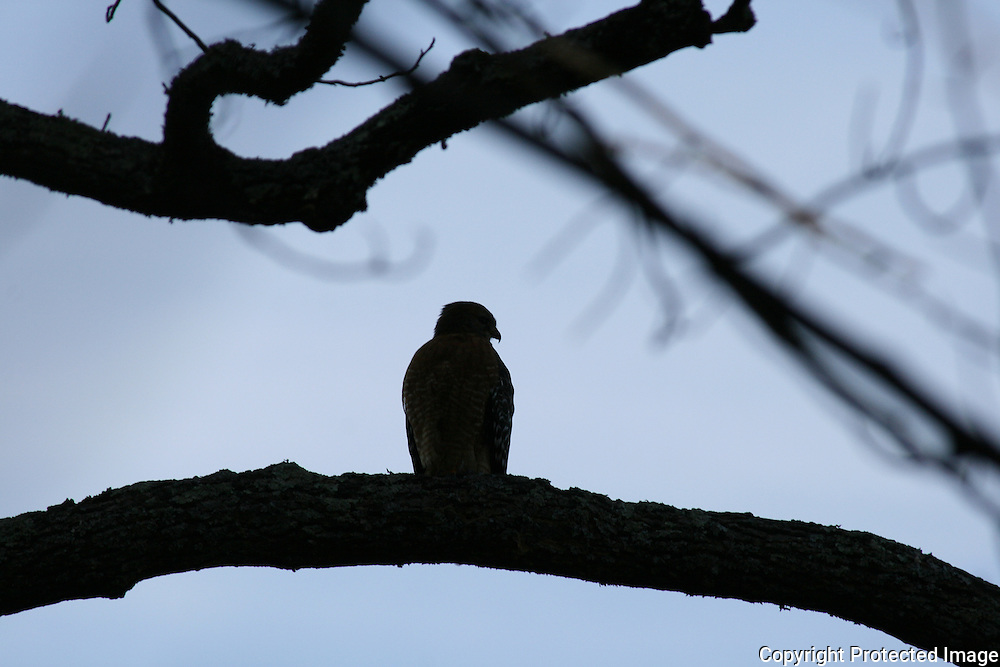 Sharp shinned hawk, Coopers Hawk,  silhouette in a tree at dusk