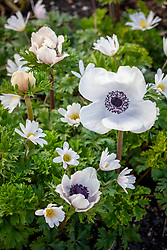 Anemone blanda 'White Splendour' AGM (Winter windflower) with Anemone coronaria White