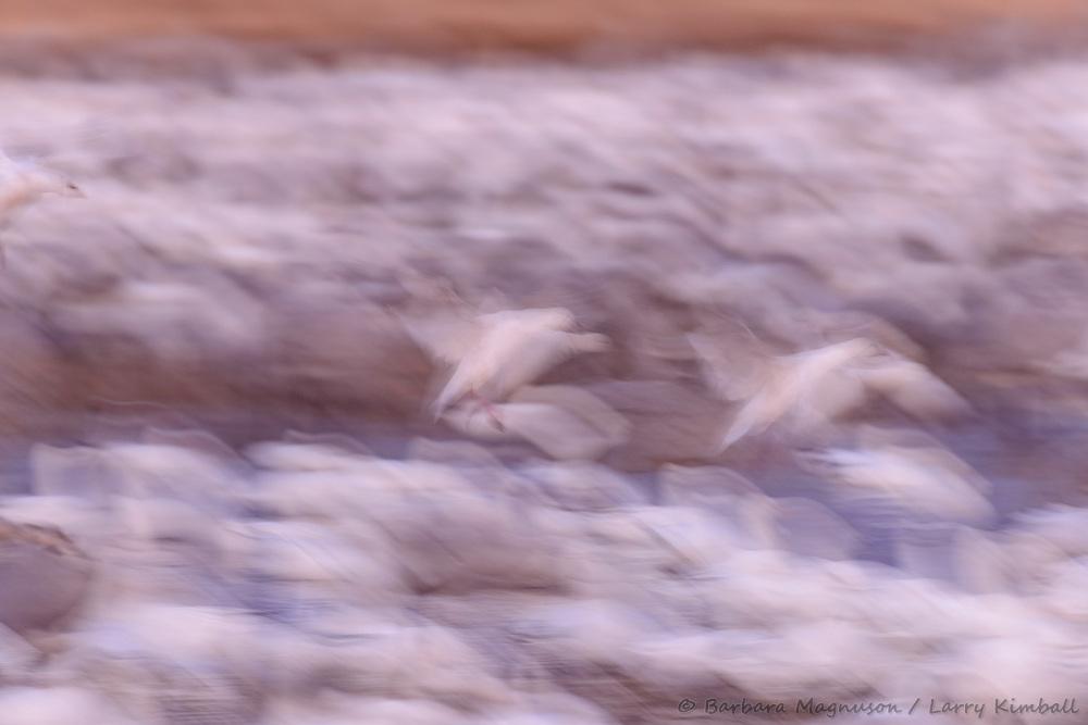 Snow Geese [Chen caerulescens] blurred flight; Bosque del Apache, New Mexico