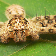 Sparassidae (formerly Heteropodidae) is a family of spiders known as huntsman spiders because of their speed and mode of hunting. They also are called giant crab spiders because of their size and appearance.