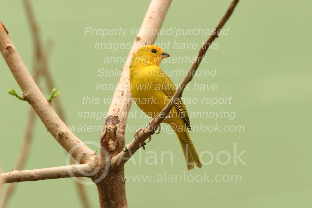 05 June 2005 <br /> <br /> Saffron Finch<br /> <br /> Miller Park Zoo, Bloomington, Il (Photo by Alan Look)