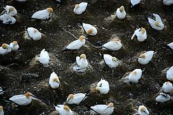 NEW ZEALAND MURIWAI BEACH 12DEC07 - Gannett seabird colony at Muriwai Beach on the north island's west coast, New Zealand...jre/Photo by Jiri Rezac..© Jiri Rezac 2007..Contact: +44 (0) 7050 110 417.Mobile:  +44 (0) 7801 337 683.Office:  +44 (0) 20 8968 9635..Email:   jiri@jirirezac.com.Web:    www.jirirezac.com..© All images Jiri Rezac 2007 - All rights reserved.