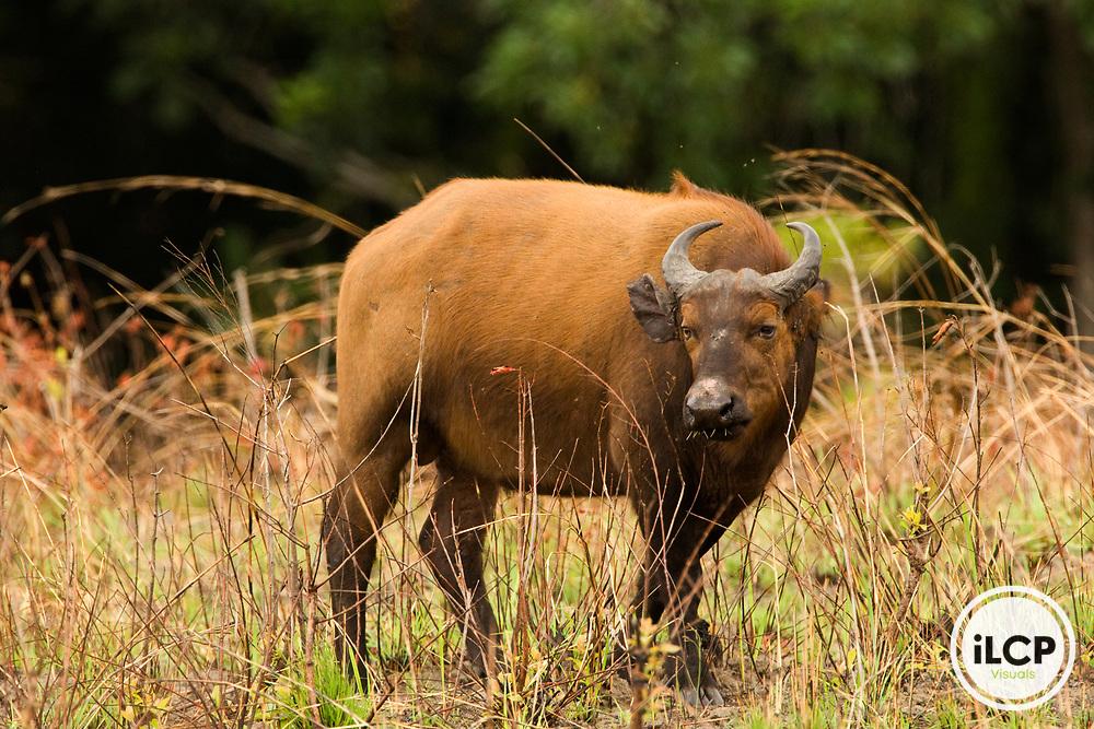 Forest Buffalo (Syncerus caffer nanus) bull, Lope National Park, Gabon