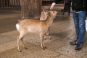 The sika deer at Todaiji Temple.