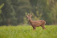 Western Roe Deer (Capreolus capreolus) male in wheat field during shower, Norfolk, UK.