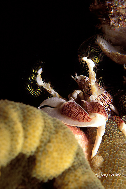 porcelain crab, Neopetrolisthes maculatus, on anemone, Cryptodendrum adhaesivum, sifting plankton from water with fan-like feeding appendages, Surin Islands, Thailand <br /> ( Andaman Sea, Indian Ocean )