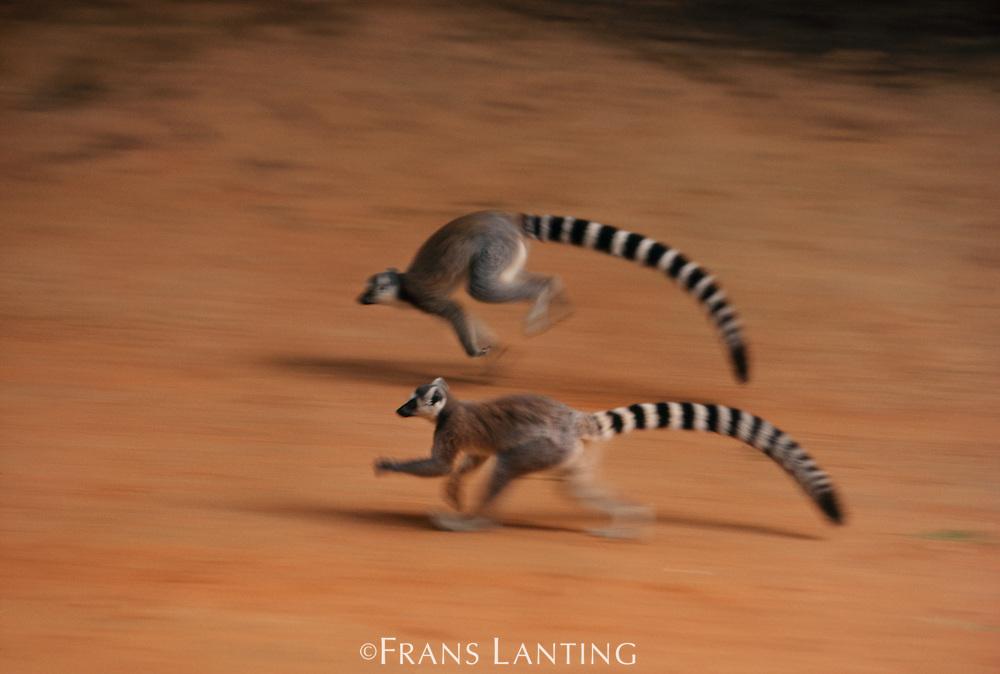 Ring-tailed lemurs running, Lemur catta, Berenty Reserve, Madagascar