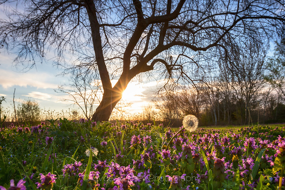 Blossom meadow rich of speedwell and dandelions at spring morning time