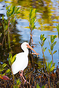 American White Ibis, Eudocimus albus, wading bird with long curved bill, in wetlands on Captiva Island, Florida USA