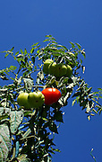 red and green tomatoes on blue sky