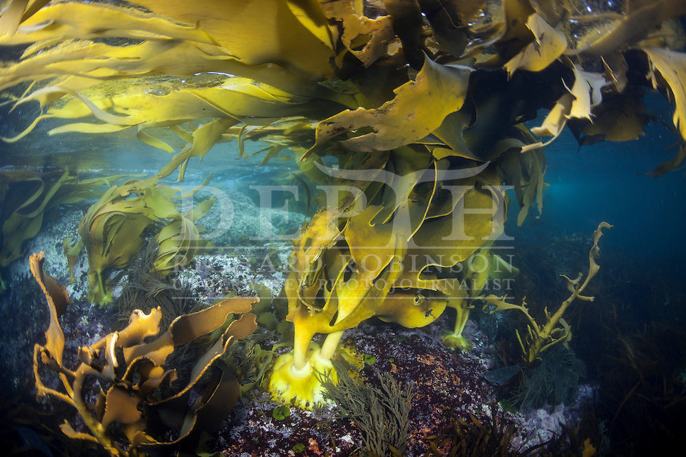 Durvillaea antarctica (Bull Kelp). Friday 04 April 2014<br /> Photograph Richard Robinson &copy; 2014<br /> Dive Number: 514<br /> Site: The Wreck of the Waikare 1910, Stop Island, Dusky Sound, Fiordland.<br /> Boat: Tutoko<br /> Dive Ian Skipworth<br /> Time: 15:43<br /> Temperature:  14.8<br /> Rebreather: Inspiration Vision. Total Time On Unit: 315:49 hh:mm<br /> Maximum Depth: 18.3 meters<br /> Bottom Time: 122 minutes<br /> Mix: 21<br /> CNS: 40%<br /> OTU: 38%<br /> Bottom Time to Date: 34,682 minutes<br /> Cumulative Time: 34,804 minutes