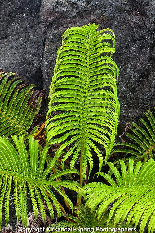 HI00296-00...HAWAI'I - Ama'u fern (Sadleria cyatheoides) growing on the Pu'u O'o Lava Bed in Hawai'i Volcanoes National Park on the island of Hawai'i.