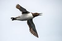 Trottellumme im Flug, Farne Islands, England
