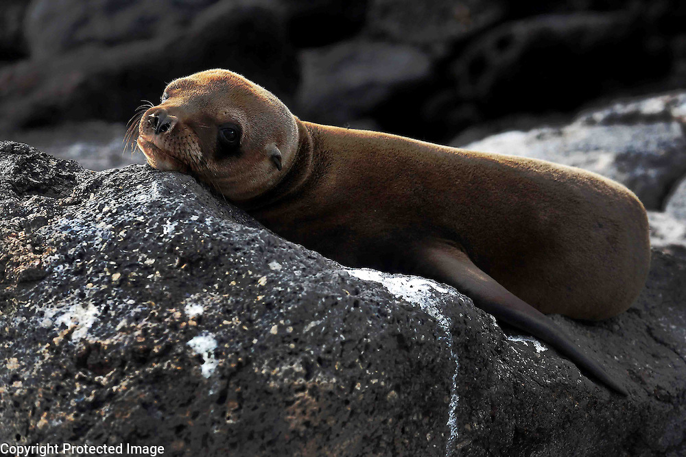 A sea lion rests on a rock on South Plaza Island in the Galapagos.