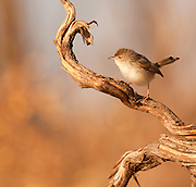 Graceful prinia (Prinia gracilis) perching on a branch. This small bird is a warbler, a type of songbird. It feeds on insects, and is found in north-east Africa and south-west Asia. Photographed in Ein Afek Nature Reserve, Israel in November