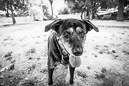 Old dog looking intently at the dog park.