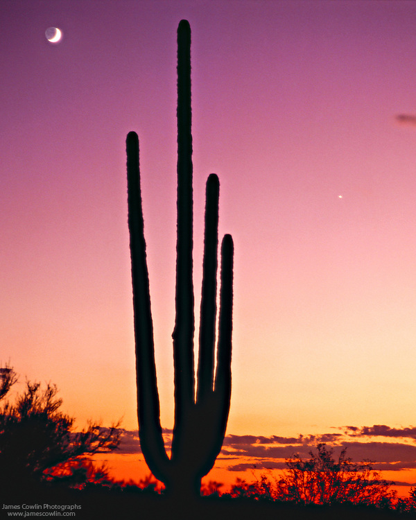 Moon rises above a silhouetted saguaro cactus at sunset in the Sonoran Desert of Arizona