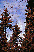 Tall trees covered with butterflies at the Monarch butterfly reserve. Rosario, Mexico.