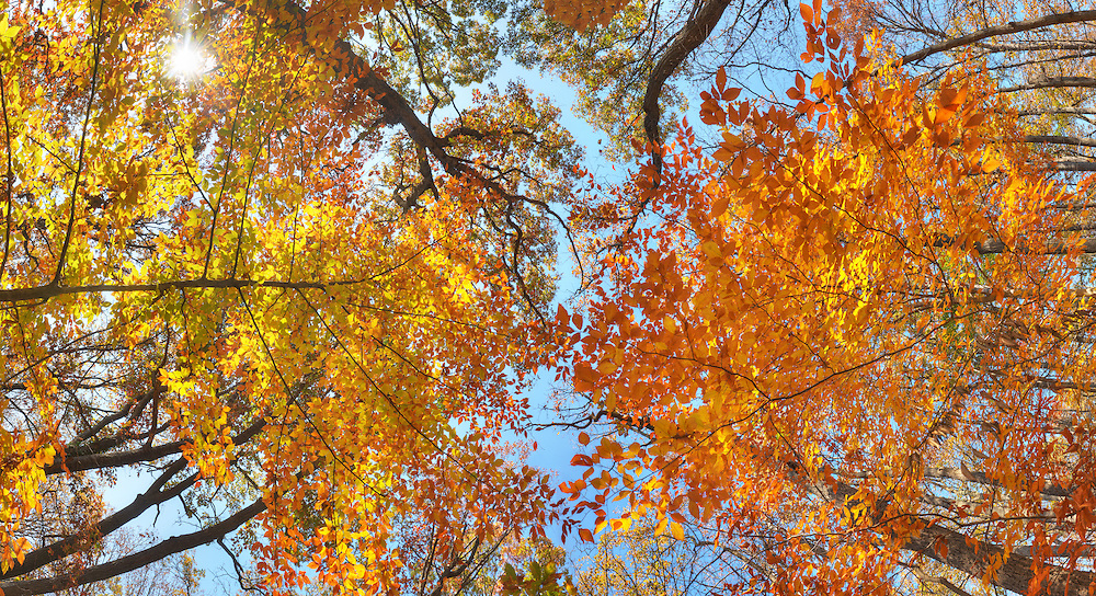 Panoramic photograph looking up at fall color of oak tree.in Takoma Park, MD. Print Size (in inches): 15x8; 24x13; 36x20; 48x26; 60x32; 72x40