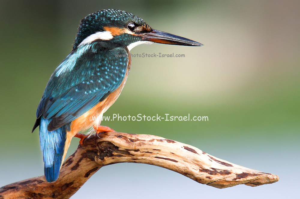 Common Kingfisher [alcedo atthis] Israel Summer September 2007.