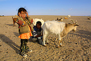 GOBI DESERT, MONGOLIA..08/30/2001.Tzochorinam, gers belonging to the family of wealthy camel herder and local hero Chimiddorj. Chimiddorj's kids milking goats..(Photo by Heimo Aga).
