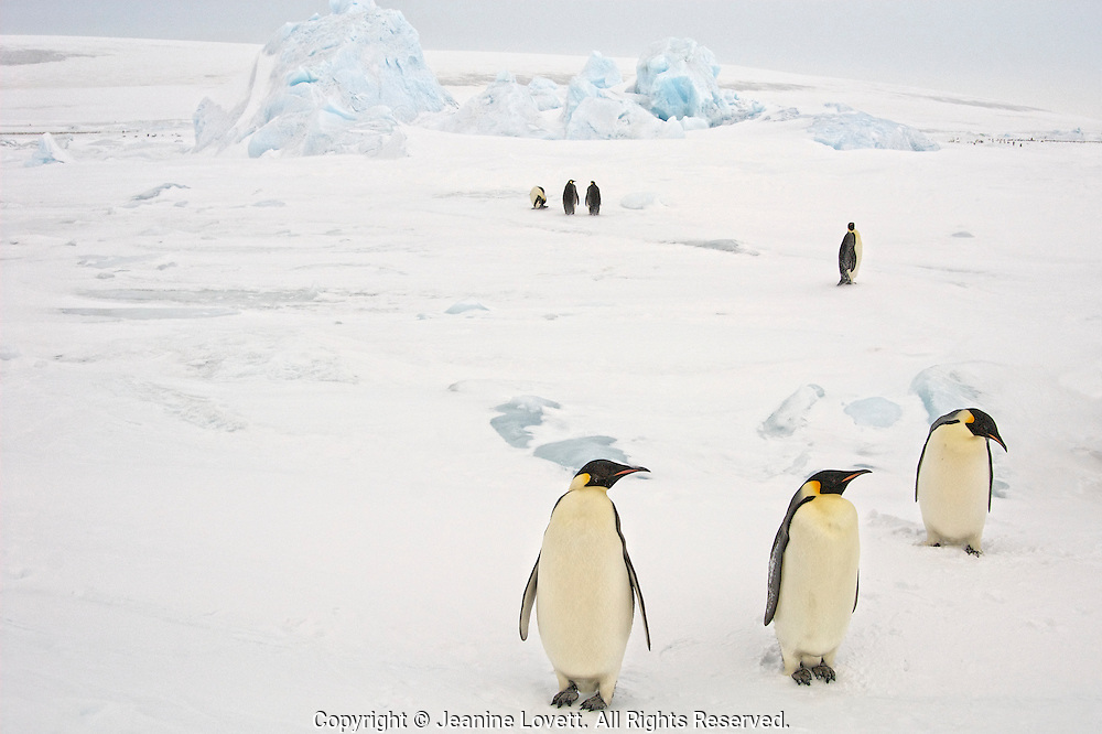 Adult emperor penguins in their ice landscape checking out the photographer.