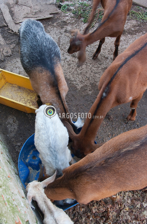 Criacao de Cabras, tratadas com racao.Mamifero herbivoro ruminante cavicorneo que pertence a familia dos bovideos, subfamilia dos caprinos./Goat breeding.The domestic goat (Capra aegagrus hircus) is a subspecies of goat domesticated from the wild goat of southwest Asia and Eastern Europe. The goat is a member of the Bovidae family and is closely related to the sheep as both are in the goat-antelope subfamily Caprinae