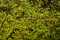 Intimate scene of vine maple and moss in the Queets Rainforest, Olympic National Park