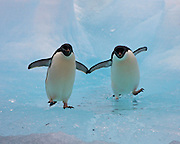 Adelie penguin ice dance<br /> With their flippers touching these 2 Adelie penguins try to navigate the ice flows around Cape Adare to get back into the sea to fish. Ross Sea, Antarctica<br /> ©Sue Forbes/Exclusivepix