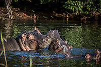 Young hippos play in the waters of St Lucia Estuary in South Africa.