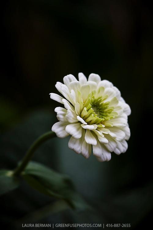 A white zinnia flower against a dark background.