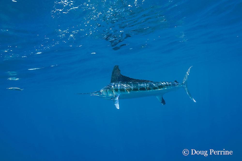 white marlin, Tetrapturus albidus, chasing teaser bait, off Yucatan Peninsula, Mexico ( Caribbean Sea )
