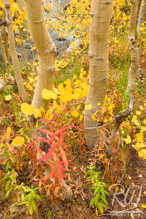Aspen Trees Fall Color in Bishop Creek Canyon, Inyo National Forest, California