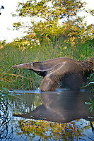 Giant Anteater, Myrmecophaga tridactyla, Corrientes, Argentina. Is the largest species of anteater. It is a solitary animal, found in many habitats, including grasslands, deciduous forests and rainforests. It feeds mainly on ants and termites, sometimes up to 30,000 insects in a single day. Image by Andres Morya