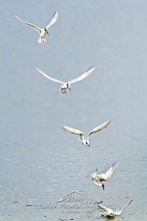 Forster's Tern feeds by plunge-diving for fish, Bolsa Chica.