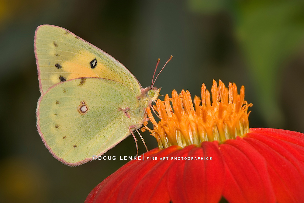 Yellow Butterfly On Red Flower, Pink-edged Sulphur, Colias interior