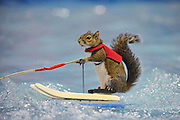 Twiggy the water-skiing squirrel <br /> <br /> TWIGGY The water-skiing squirrel entertains a packed crowd of fans during a performance at the 2015 X Games, Circuit Of The Americas-Austin, TX <br /> ©Exclusivepix Media