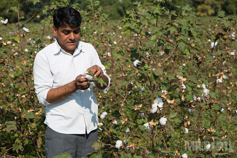 Shantilal checking his organic cotton on his farm in Madhya Pradesh, India.