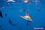 Atlantic sailfish, Istiophorus albicans, with deformed bill is healthy and hunting sardines off Yucatan Peninsula, Mexico ( Caribbean Sea )