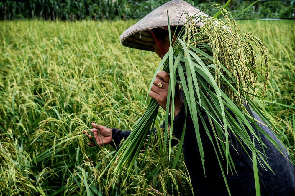 Making Green Rice in Nakhon Nayok, Thailand