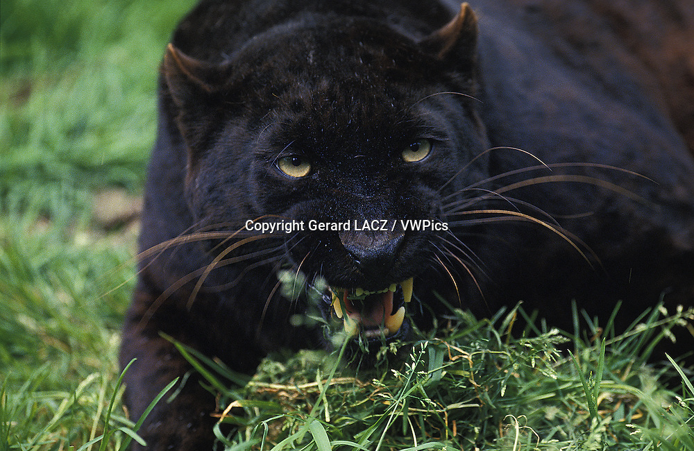 Black Panther,  panthera pardus, Adult snarling