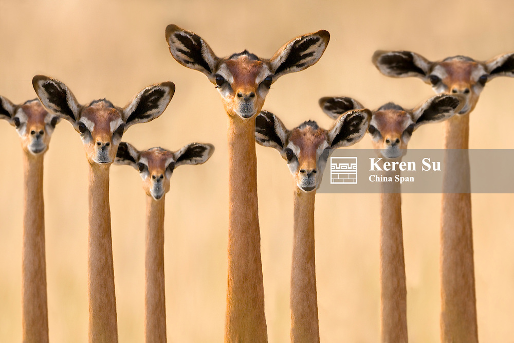 Gerenuk, Samburu, Kenya