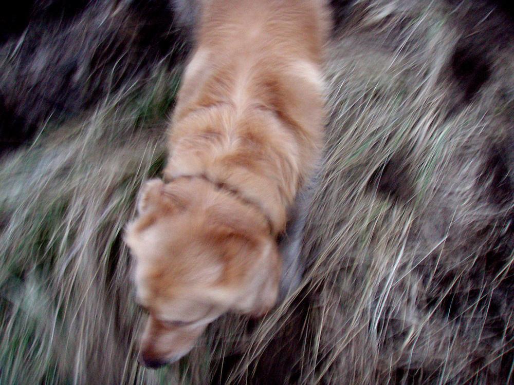 Golden Retriever Lemmy w&auml;hrend einem Spaziergang im Feld. Der Golden Retriever ist ein intelligenter, freudig arbeitender Hund, dem auch extreme, nasskalte Witterungsbedingungen nichts ausmachen. Dem steht allerdings eine relativ starke Empfindlichkeit hinsichtlich hoher Temperaturen gegen&uuml;ber. Grunds&auml;tzlich ist die Rasse ruhig, geduldig, aufmerksam und niemals aggressiv.<br /> <br /> Golden Retriever Lemmy during a walk in the fields.
