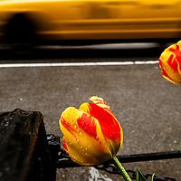 Parrot tulips and NY taxi along 29th Street. New York, NY